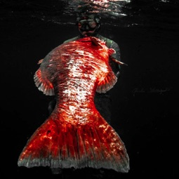 Big Cubera Snapper speared in Costa Rica